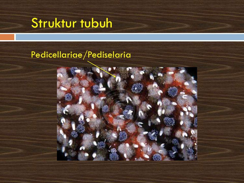 Struktur tubuh Pedicellariae/Pediselaria