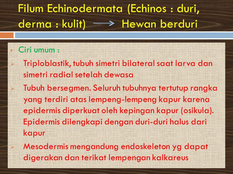 Filum Echinodermata (Echinos : duri, derma : kulit) Hewan berduri