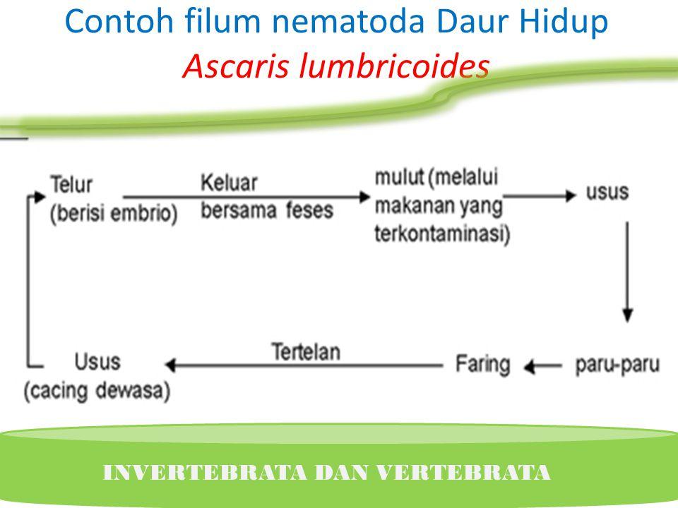 Contoh filum nematoda Daur Hidup Ascaris lumbricoides