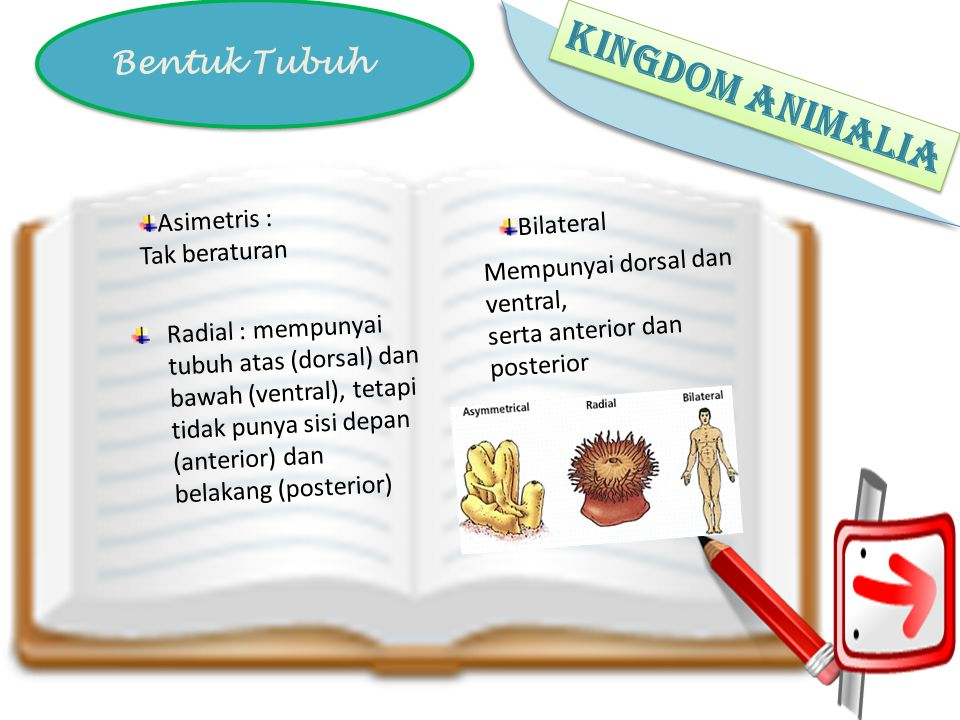 KINGDOM ANIMALIA Bentuk Tubuh Asimetris : Bilateral Tak beraturan