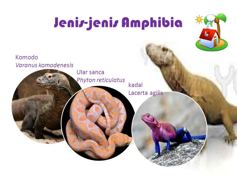 Jenis-jenis Amphibia Komodo Varanus komodenesis Ular sanca
