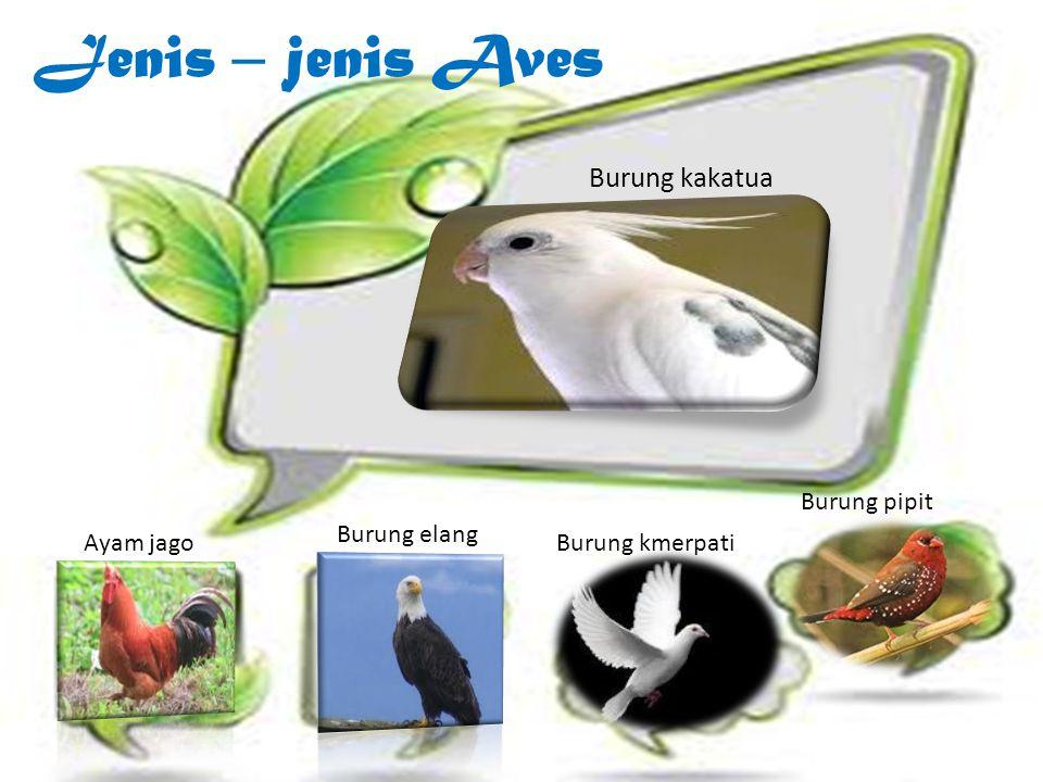 Jenis – jenis Aves Burung kakatua Burung pipit Burung elang Ayam jago