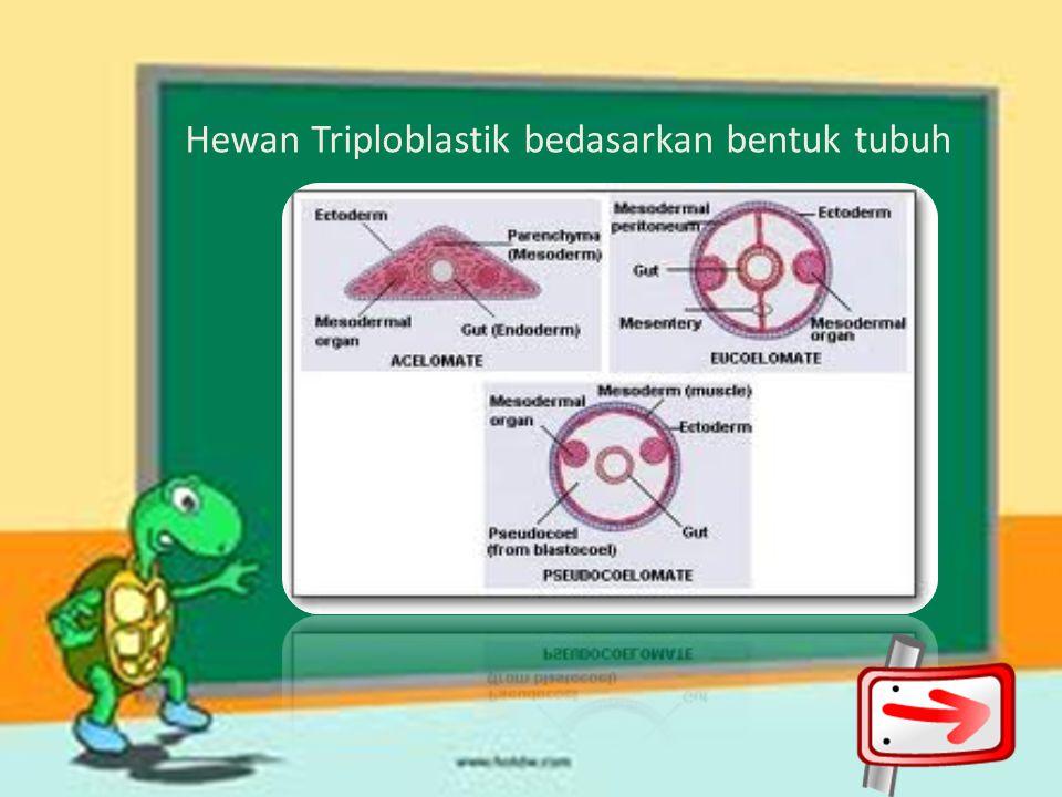 Hewan Triploblastik bedasarkan bentuk tubuh