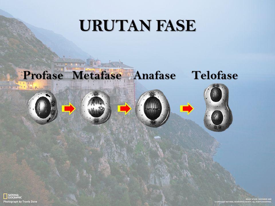 URUTAN FASE Profase Metafase Anafase Telofase