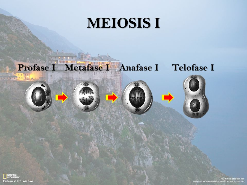 MEIOSIS I Profase I Metafase I Anafase I Telofase I