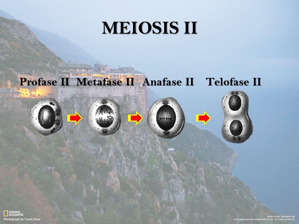 MEIOSIS II Profase II Metafase II Anafase II Telofase II