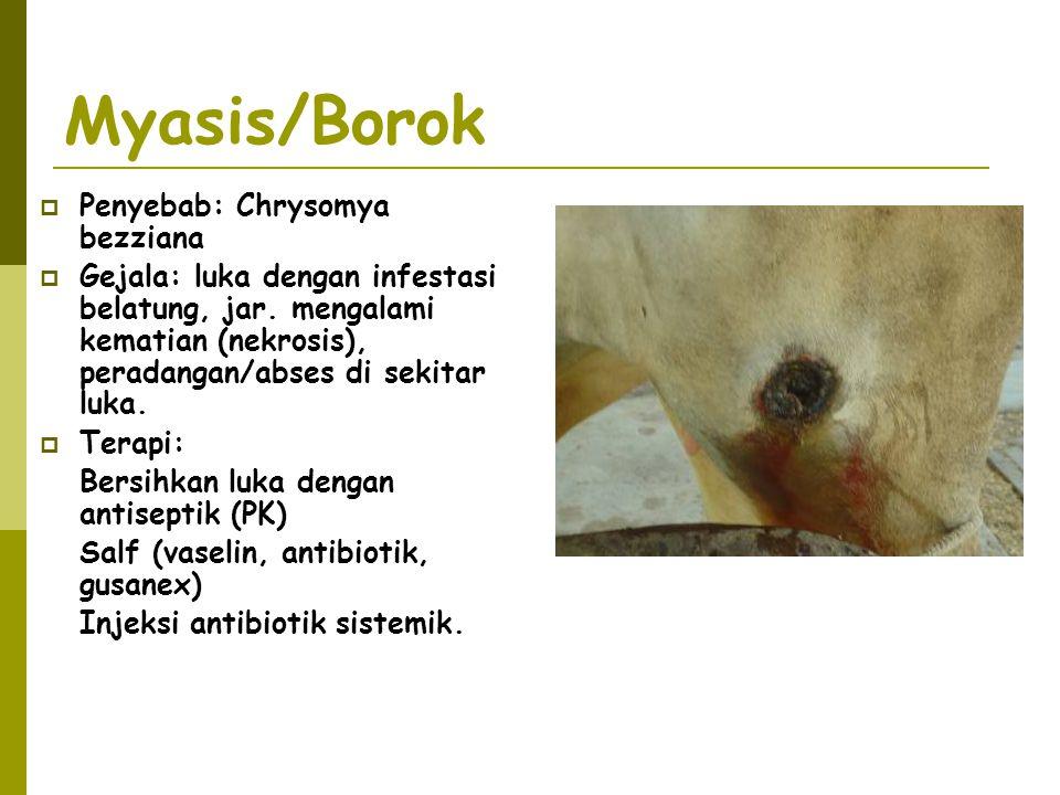 Myasis/Borok Penyebab: Chrysomya bezziana