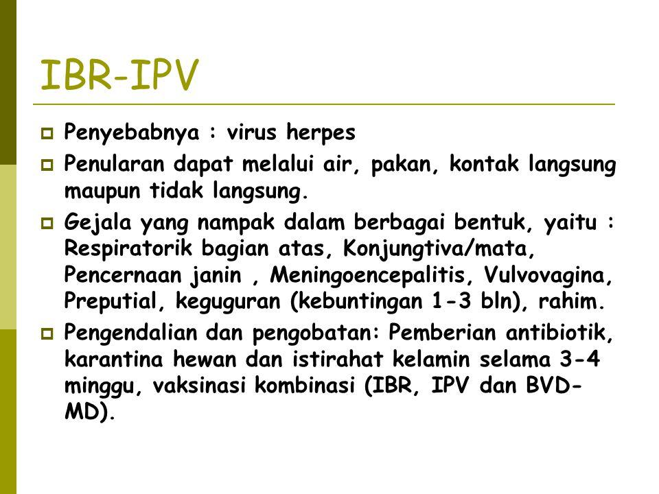 IBR-IPV Penyebabnya : virus herpes