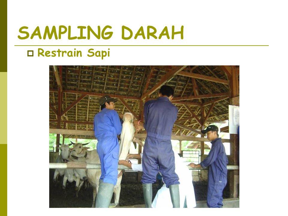 SAMPLING DARAH Restrain Sapi