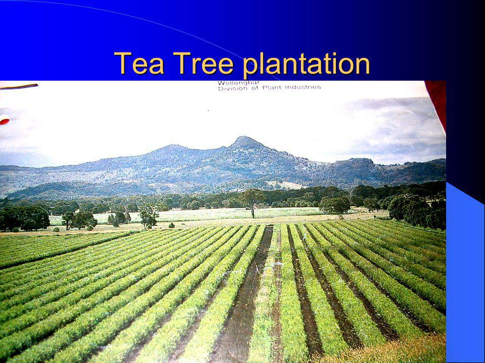 Tea Tree plantation
