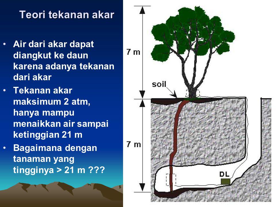 Teori tekanan akar Air dari akar dapat diangkut ke daun karena adanya tekanan dari akar.