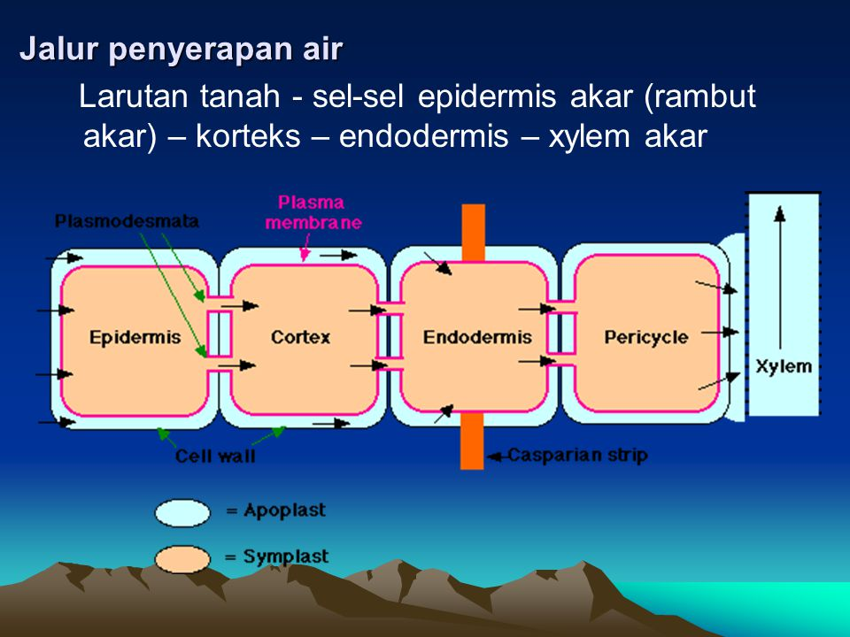 Jalur penyerapan air Larutan tanah - sel-sel epidermis akar (rambut akar) – korteks – endodermis – xylem akar.