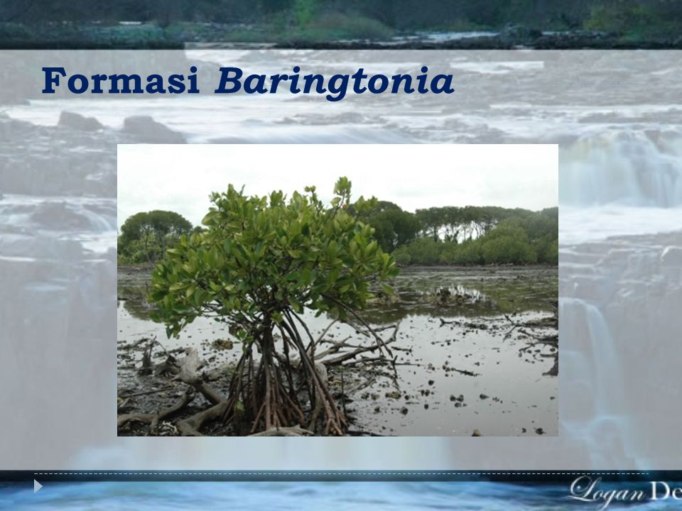 Formasi Baringtonia
