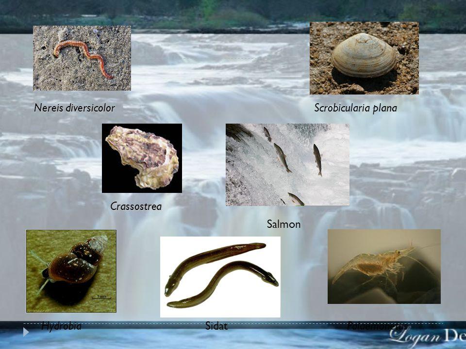 Nereis diversicolor Scrobicularia plana Crassostrea Salmon Hydrobia Sidat Palaemonetus