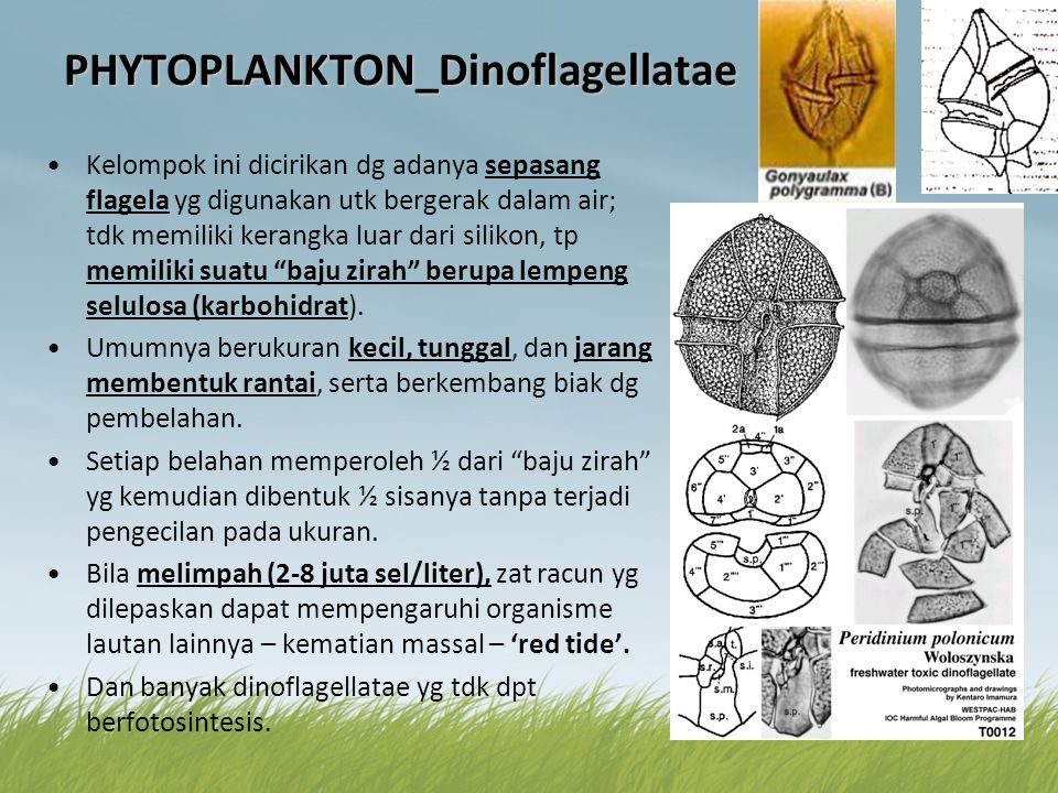 PHYTOPLANKTON_Dinoflagellatae