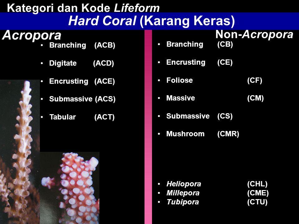 Hard Coral (Karang Keras) Acropora