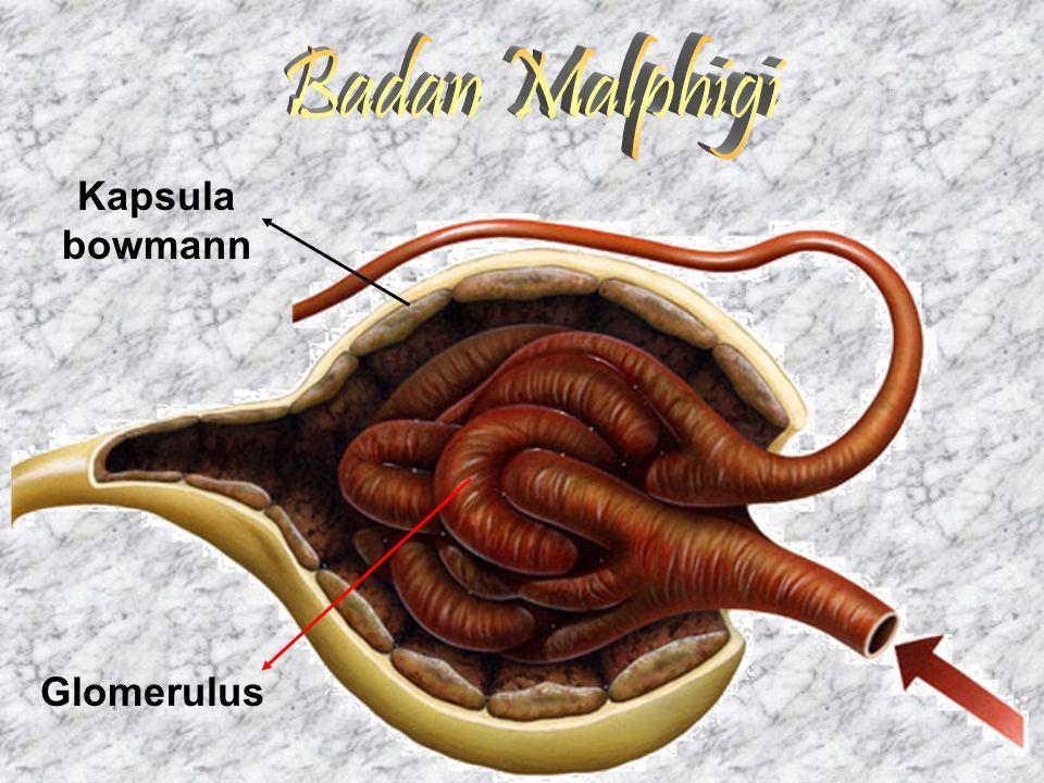 Badan Malphigi Kapsula bowmann Glomerulus