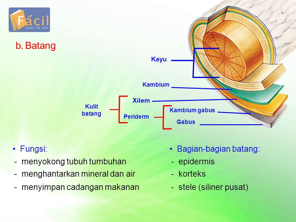 b. Batang Fungsi: Bagian-bagian batang: - menyokong tubuh tumbuhan