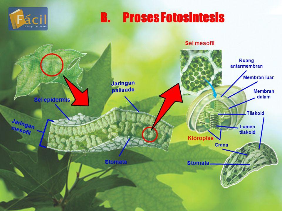 B. Proses Fotosintesis Sel mesofil Jaringan palisade Sel epidermis