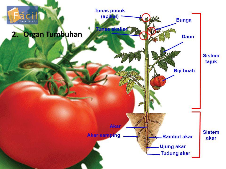 2. Organ Tumbuhan Tunas pucuk (apikal) Bunga Tunas aksilar Daun