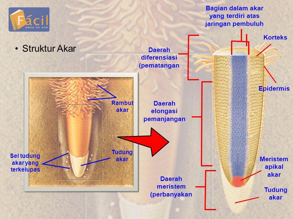 Struktur Akar Bagian dalam akar yang terdiri atas jaringan pembuluh