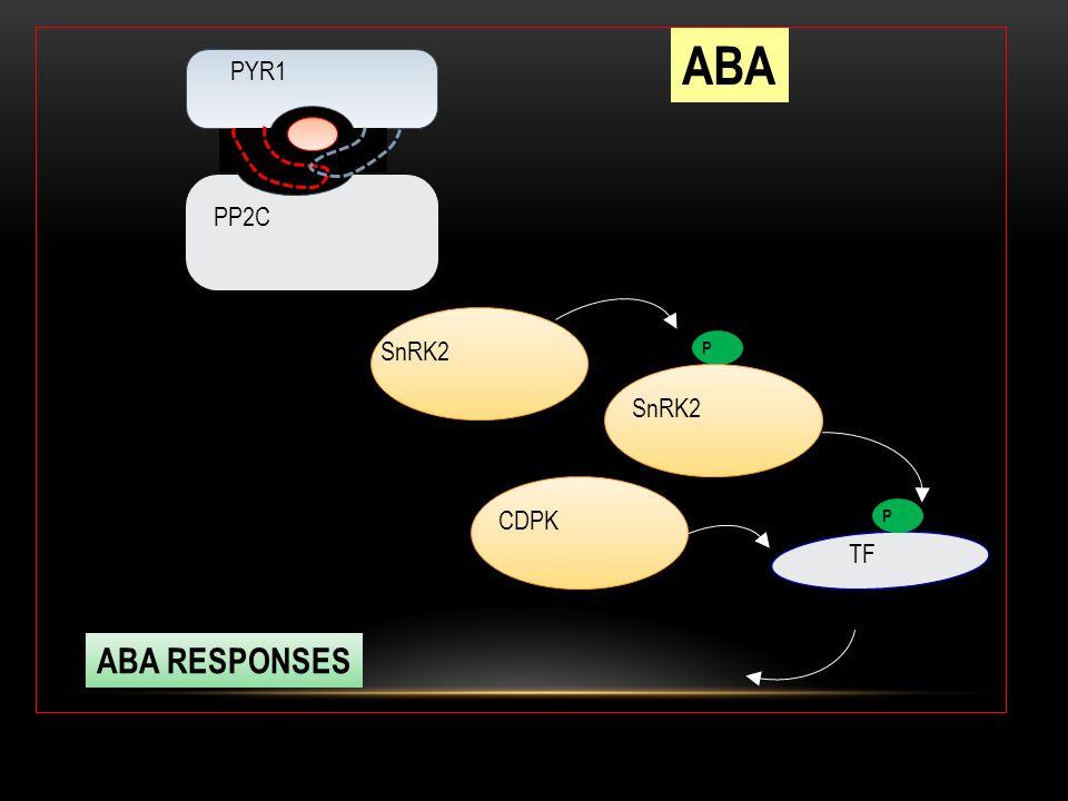 PYR1 PP2C P SnRK2 TF ABA ABA RESPONSES CDPK
