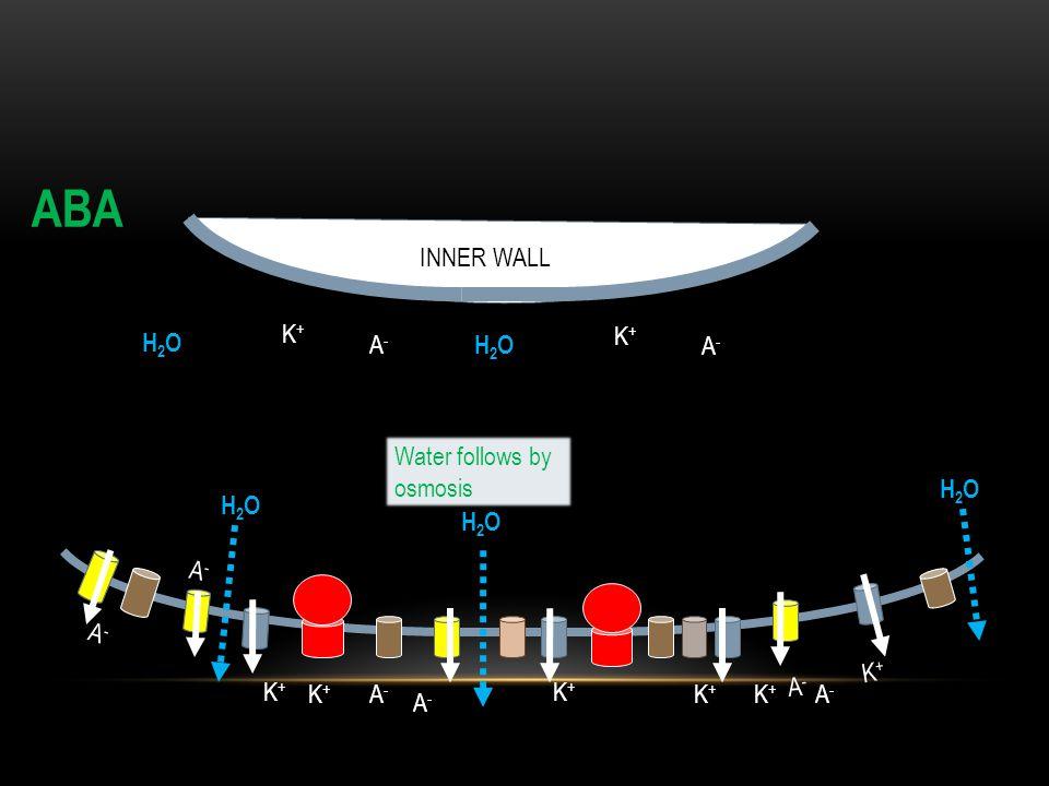 ABA INNER WALL K+ K+ H2O A- H2O A- Water follows by osmosis H2O H2O