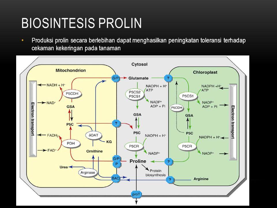 BIOSINTESIS prolin Produksi prolin secara berlebihan dapat menghasilkan peningkatan toleransi terhadap cekaman kekeringan pada tanaman.