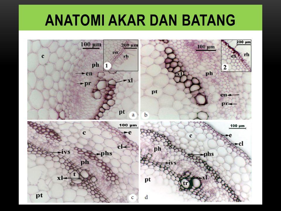 Anatomi akar dan batang