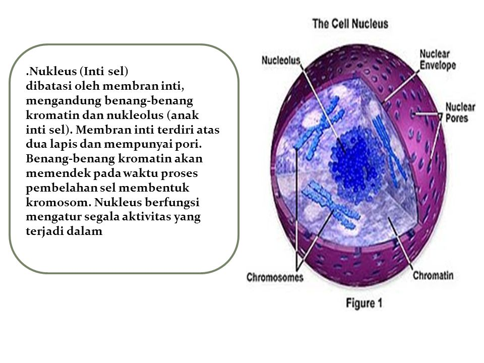 .Nukleus (Inti sel)