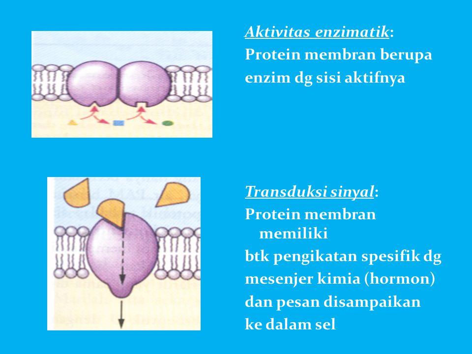 Aktivitas enzimatik: Protein membran berupa. enzim dg sisi aktifnya. Transduksi sinyal: Protein membran memiliki.