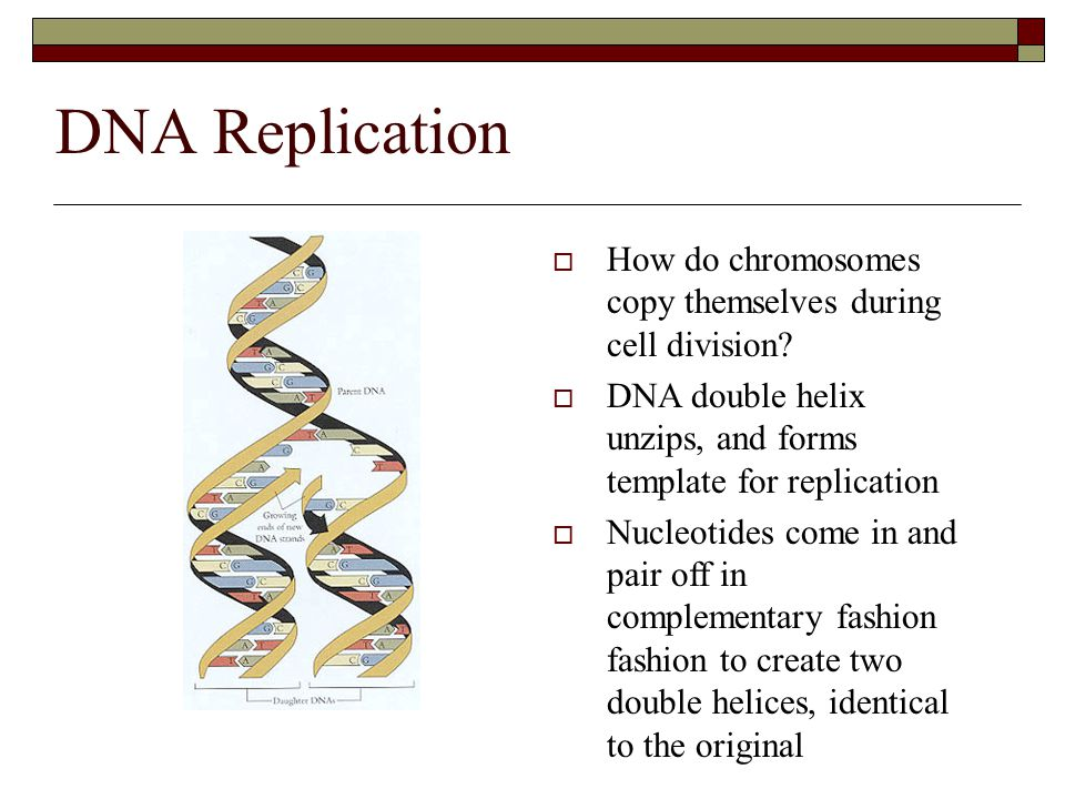 DNA Replication How do chromosomes copy themselves during cell division DNA double helix unzips, and forms template for replication.