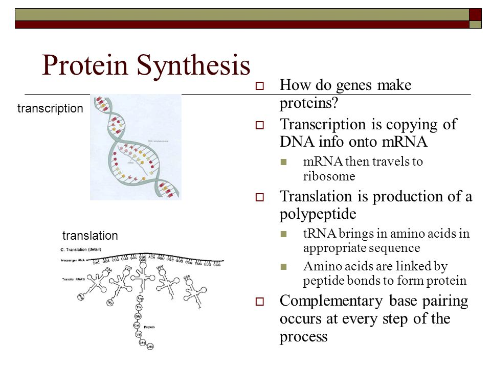 Protein Synthesis How do genes make proteins