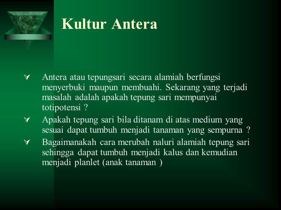 Kultur Antera