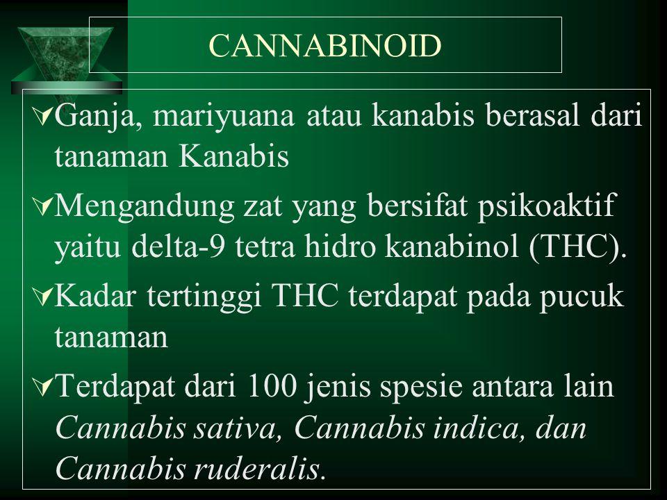Ganja, mariyuana atau kanabis berasal dari tanaman Kanabis