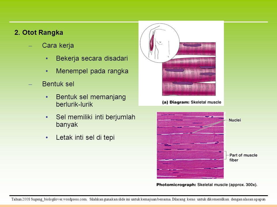 2. Otot Rangka Cara kerja. Bekerja secara disadari. Menempel pada rangka. Bentuk sel. Bentuk sel memanjang berlurik-lurik.