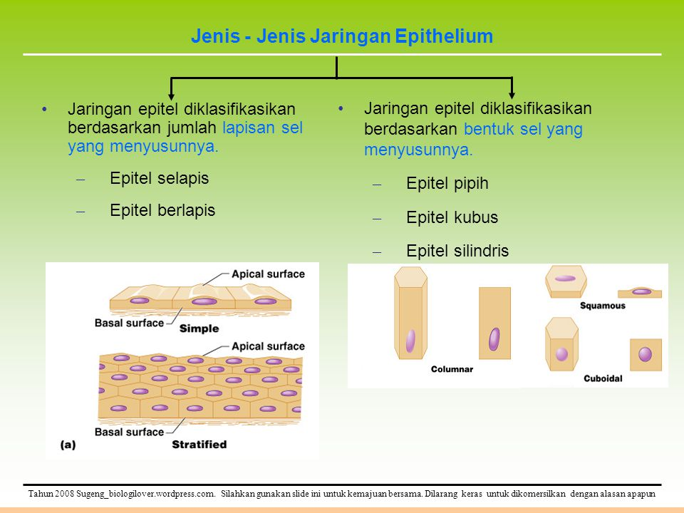Jenis - Jenis Jaringan Epithelium