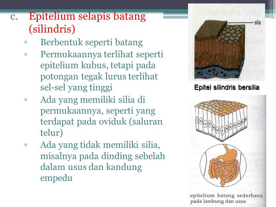Epitel silindris bersilia