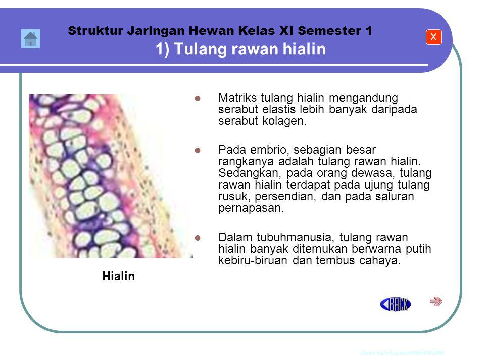 1) Tulang rawan hialin Struktur Jaringan Hewan Kelas XI Semester 1