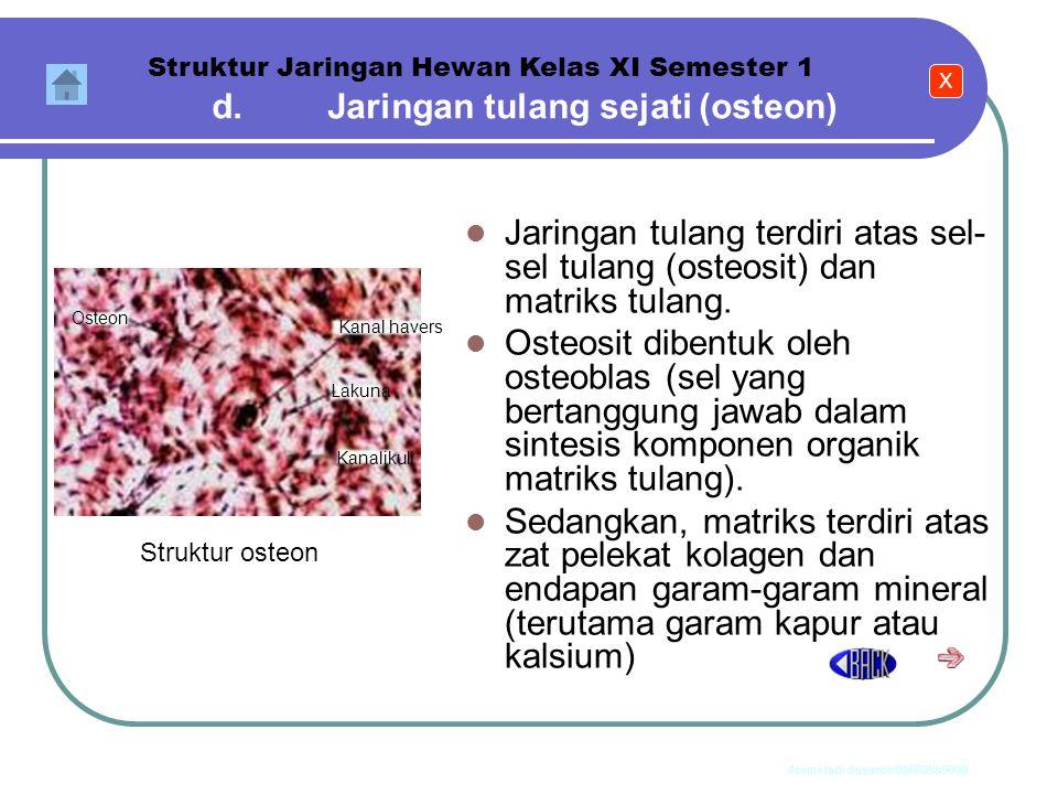 d. Jaringan tulang sejati (osteon)