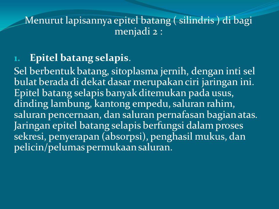 Menurut lapisannya epitel batang ( silindris ) di bagi menjadi 2 :