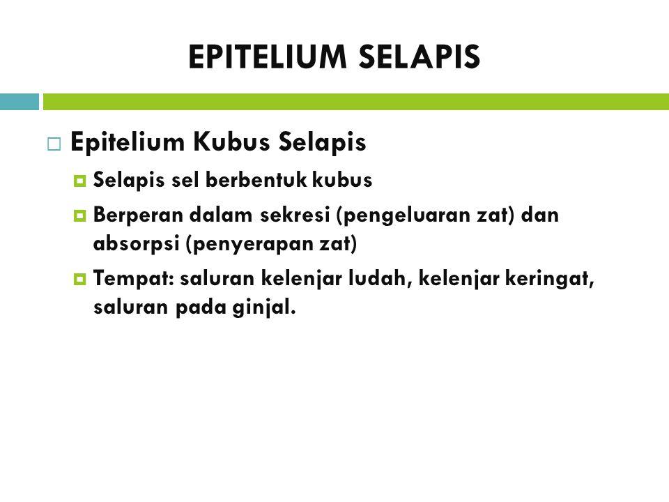 EPITELIUM SELAPIS Epitelium Kubus Selapis Selapis sel berbentuk kubus