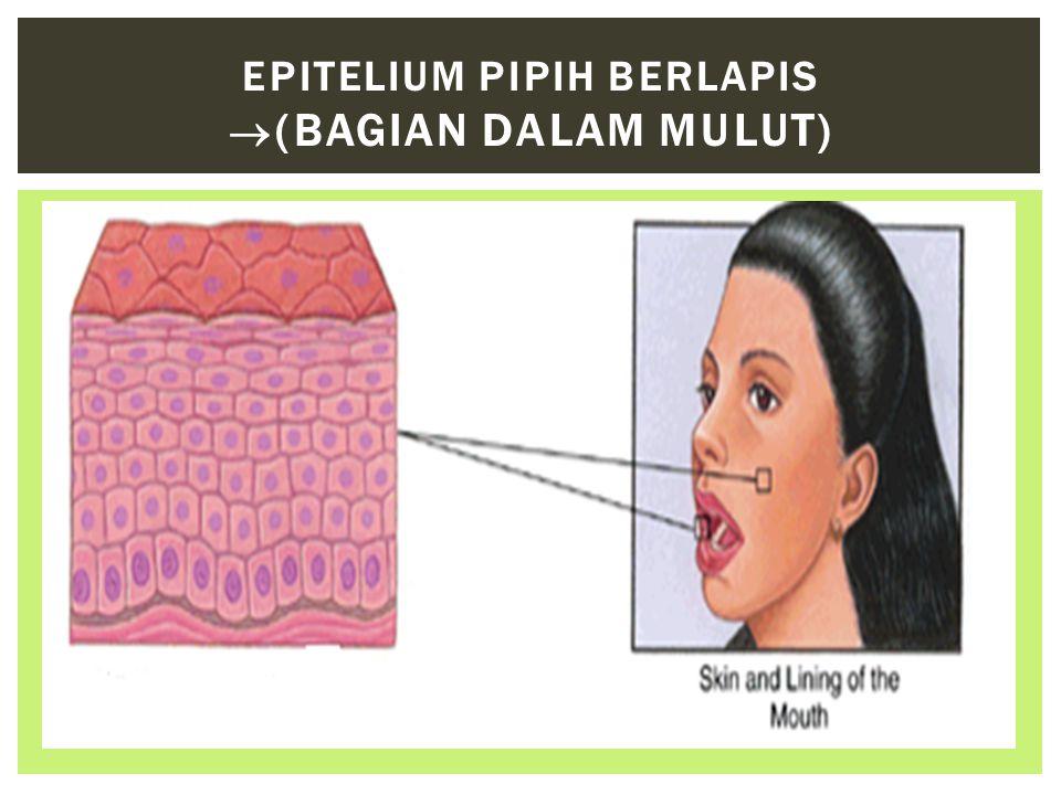 Epitelium Pipih Berlapis (bagian dalam mulut)