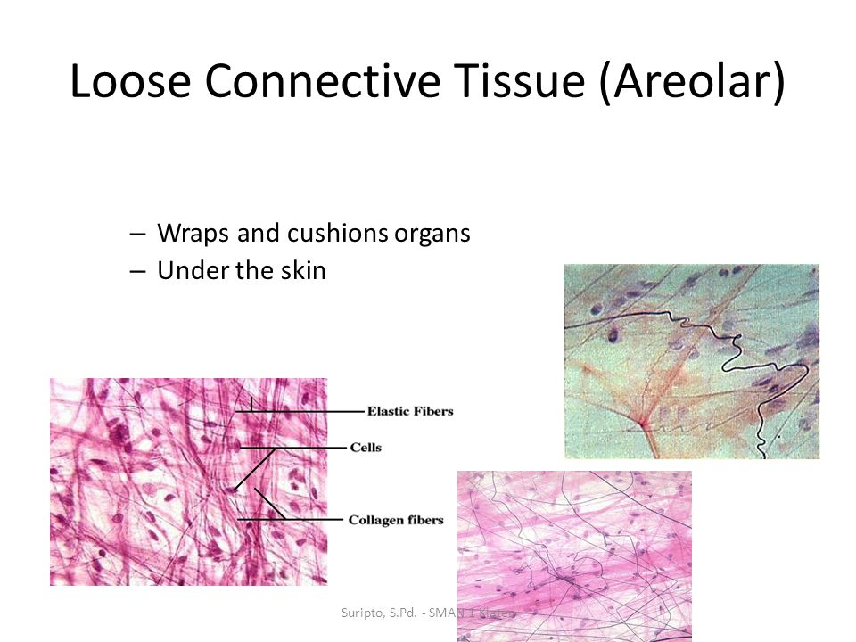 Loose Connective Tissue (Areolar)