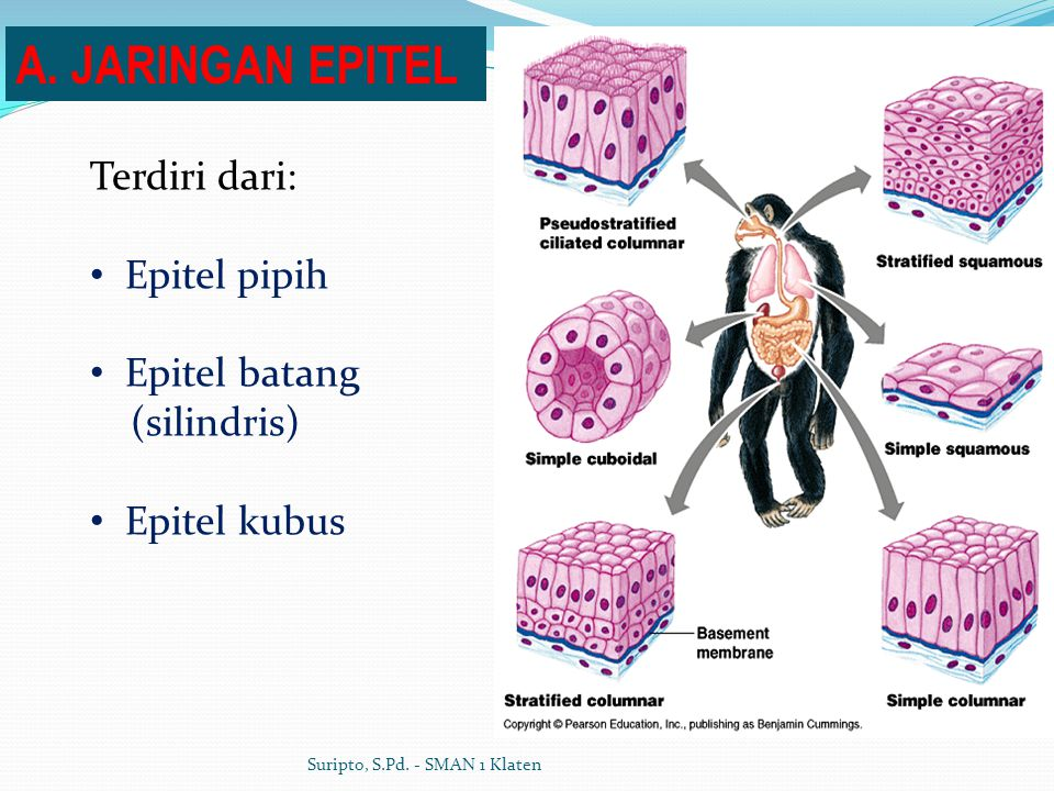 A. JARINGAN EPITEL Terdiri dari: Epitel pipih Epitel batang