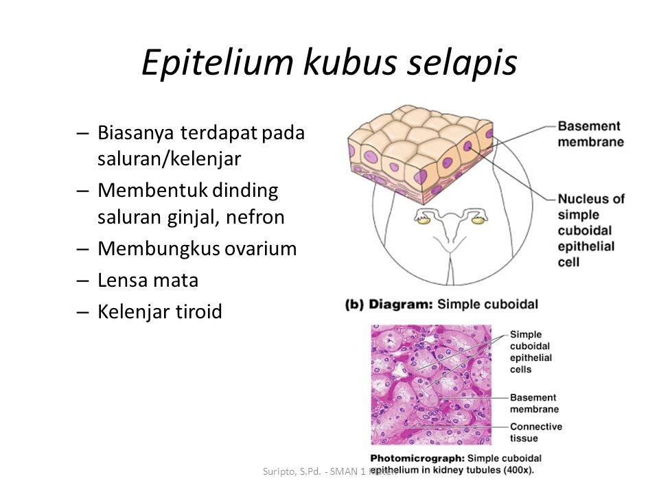 Epitelium kubus selapis