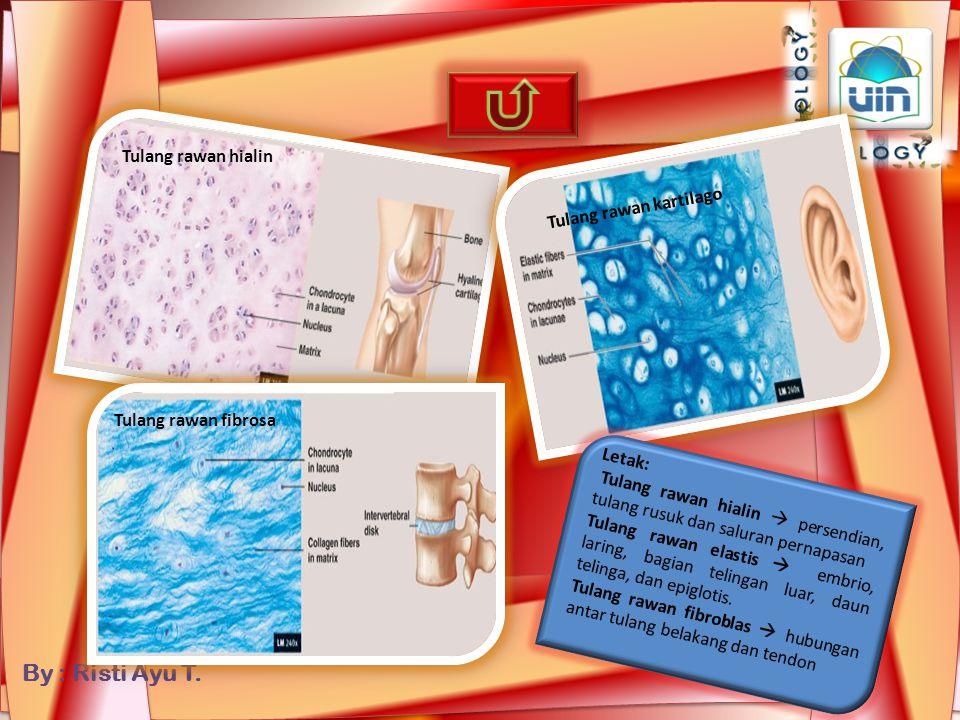 Tulang rawan hialin Tulang rawan kartilago. Tulang rawan fibrosa. Letak: Tulang rawan hialin  persendian, tulang rusuk dan saluran pernapasan.