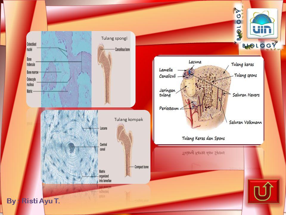 Tulang spongi Tulang kompak