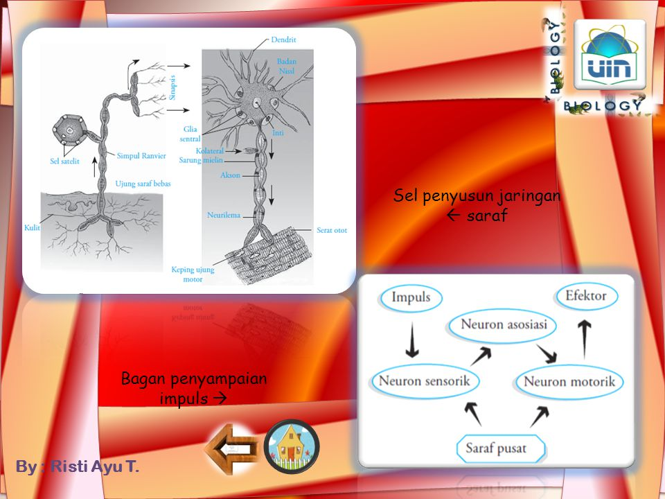 Sel penyusun jaringan  saraf