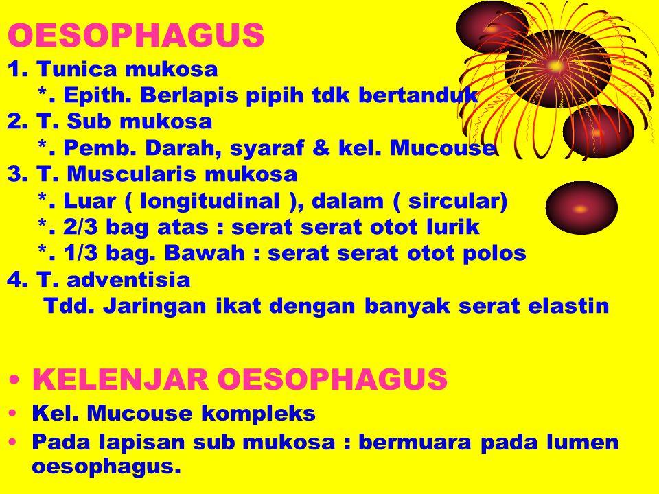 OESOPHAGUS 1. Tunica mukosa. Epith. Berlapis pipih tdk bertanduk 2. T